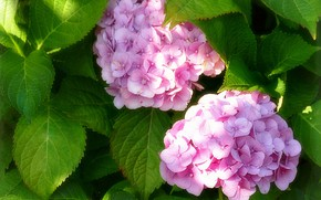 Picture leaves, Duo, inflorescence, hydrangea