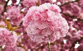 Picture flowers, cherry, spring, Sakura