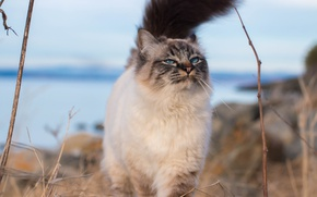 Picture cat, look, background, tail