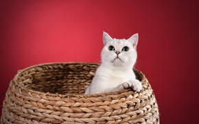 Wallpaper basket, sitting, look, cat