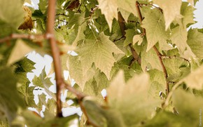 Picture summer, leaves, macro, branches, foliage, green