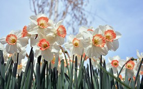 Picture Flowers, Spring, Flowering, Daffodils
