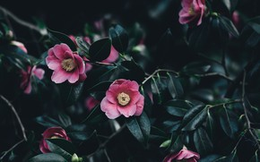 Picture leaves, flowers, Camellia