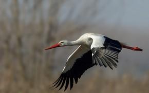 Picture bird, stork, flight
