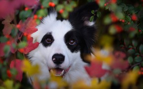 Picture autumn, face, leaves, branches, nature, berries, animal, dog, dog, the border collie