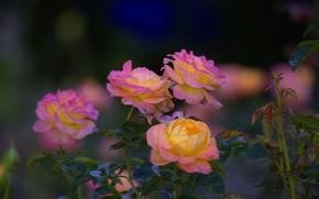 Picture Bush, roses, flowering