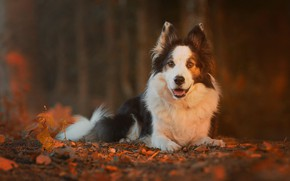 Picture autumn, leaves, nature, dog, bokeh, the border collie