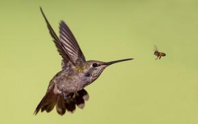 Picture bee, wings, beak, Hummingbird, Calypte Anna