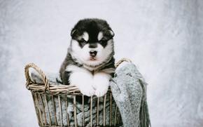 Picture look, background, basket, portrait, dog, puppy, plaid, photoshoot, Malamute