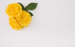 Picture leaves, yellow, background, Roses