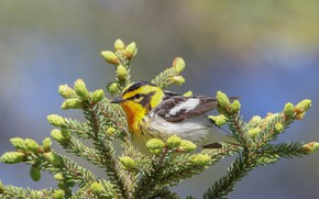 Picture Nature, Bird, Fir-tree branches