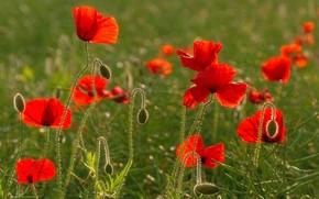 Picture field, summer, Maki, petals, meadow