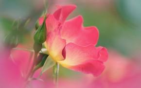 Picture flower, Bush, petals, garden
