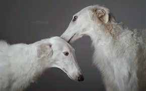 Wallpaper dogs, background, friends
