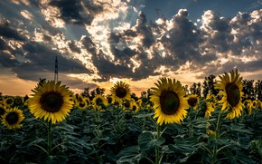 Picture sunflowers, sunset, nature