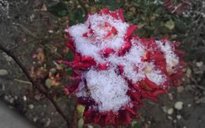 Picture autumn, flowers, roses, pink, Meduzanol ©