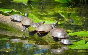 Picture swamp, turtles, duckweed