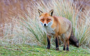 Picture grass, look, nature, thickets, glade, Fox, red, walk, face, tricky, Fox