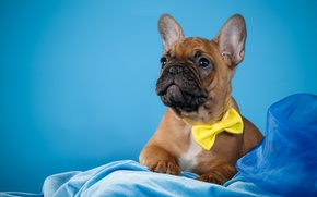 Picture tie, puppy, fabric, French bulldog