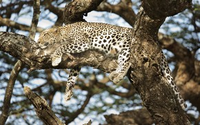 Wallpaper leopard, lies, color, predator, stay, disguise, on the tree, wild cat, spot