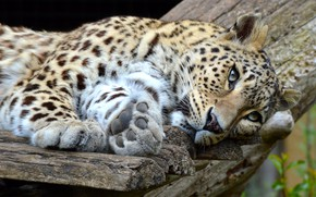 Wallpaper look, face, cats, pose, background, Board, paws, leopard, lies, wild cats, zoo, wildlife
