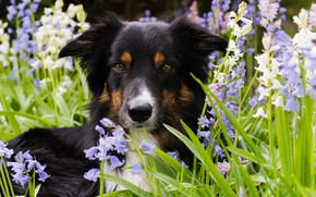 Picture grass, flowers, nature, The border collie