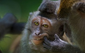 Picture monkey, Malaysia, the primacy of, the monkeys-crab