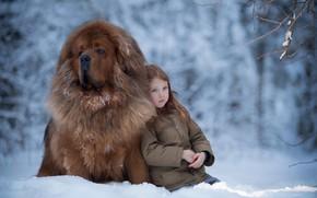 Picture winter, snow, mood, dog, girl, friends, dog, Tibetan Mastiff