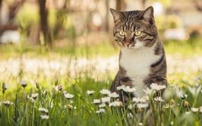 Picture cat, cat, flowers, bokeh, Daisy