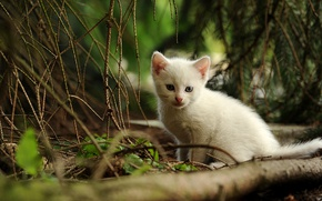 Picture forest, cat, white, cat, trees, branches, nature, kitty, small, ate, kitty, needles
