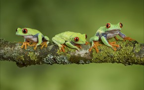 Picture moss, branch, frogs