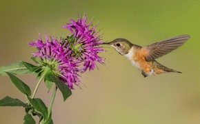 Picture flower, bird, wings, beak, Buffy Hummingbird