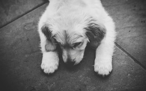 Picture dog, puppy, black and white