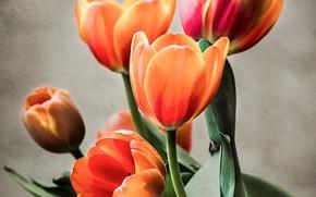 Picture nature, Tulip, bouquet, petals