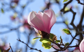 Picture the sky, branch, Bud, Magnolia