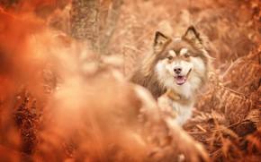 Wallpaper autumn, face, Finnish lapphund, bokeh, dog