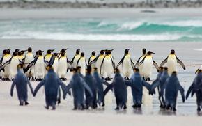 Picture bird, Falkland Islands, Royal penguin