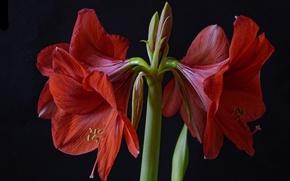 Picture macro, red, Amaryllis