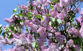 Picture flowers, Bush, Nature, flowering, lilac