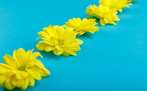 Picture flowers, blue background, Yellow chrysanthemum