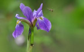 Picture macro, nature, bee, petals, iris