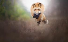 Wallpaper jump, Fox, red, bokeh