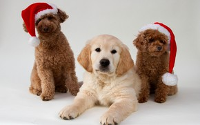 Picture dogs, background, trio, caps, Golden Retriever, Golden Retriever, Poodle