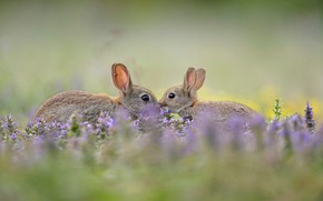 Picture grass, nature, ears, wild rabbit