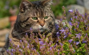 Picture cat, flowers, face, Kote, kotofeich