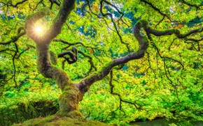 Picture forest, the sun, rays, tree, Oregon, USA