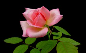 Picture leaves, macro, background, rose, petals, Bud