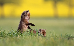Picture nature, grass, cubs