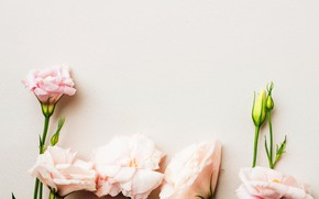 Picture flowers, petals, pink, buds, pink, decor, Eustoma