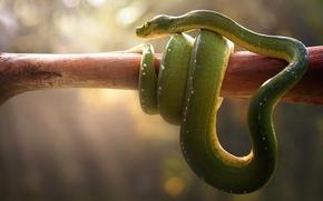 Wallpaper stick, Viper, boa, light, bokeh, snake